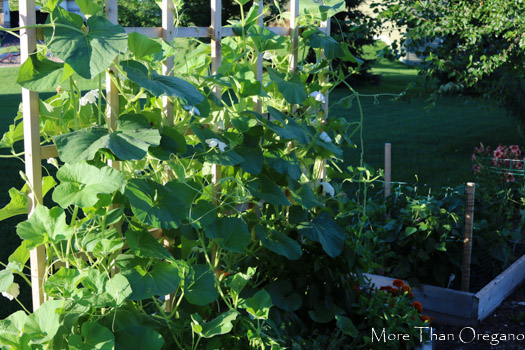 Vertically Grown Hardshell Gourds ~ Bottle or Birdhouse Gourds