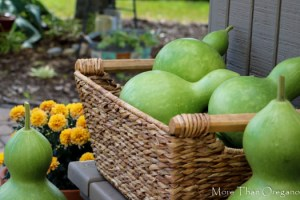 Hardshell Gourds ~ Easy to Grow & Harvest