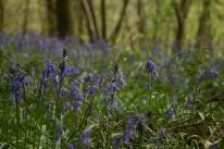 Badby_Bluebells_27_april_2014_05