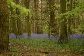 Badby_Bluebells_27_april_2014_11