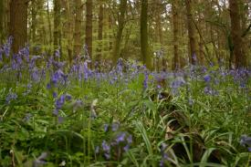 Badby_Bluebells_27_april_2014_12