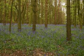 Badby_Bluebells_27_april_2014_29