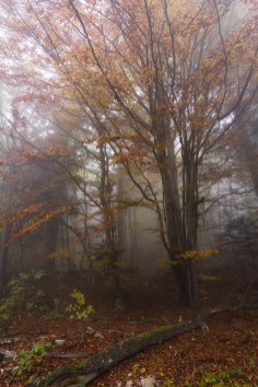Les hêtres s'enflamment en cet automne dans la forêt du Peuil