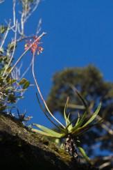 Une plante similaire aux aloe présente son inflorescence aux pollinisateurs