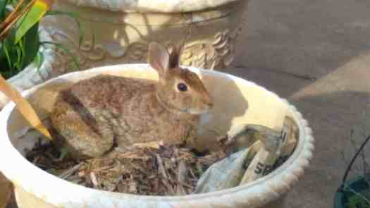 Brown rabbit sitting in a planter
