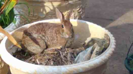 Brown rabbit in a planter looking directly at the camera
