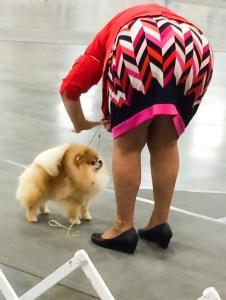 dog-pomeranian