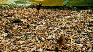 morel mushrooms in my backyard