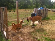 Pesky goat trying to challenge me!