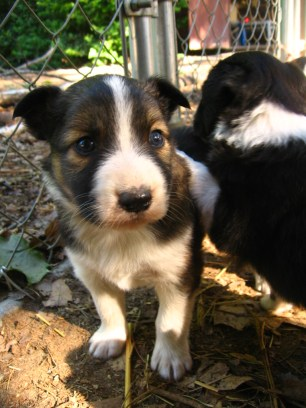 Milo- male, shaded sable & white