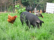 Chickens and Hogs on pasture