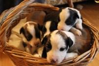 puppy 119