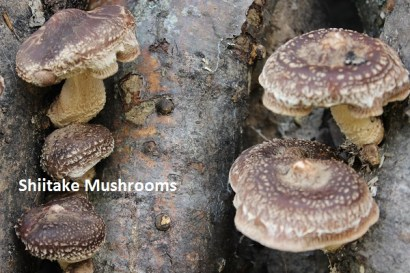 shiitake mushrooms, veggies 509 smaller