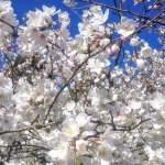 2019年天ケ城開門桜まつりはいつ?ライトアップの時間や駐車場の情報も!