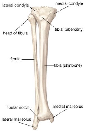 diagram of tibia stress fracture 1996 s10 radio wiring recovery plan for broken leg joints or fibula moriarty the is a bone in located between knee and ankle that