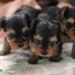 Yorkie Puppies For Sale California Teacup Toy Puppies Near Me Yorkie Adoption