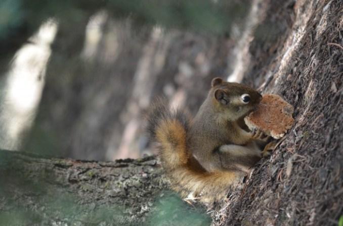 Cross lake squirrel