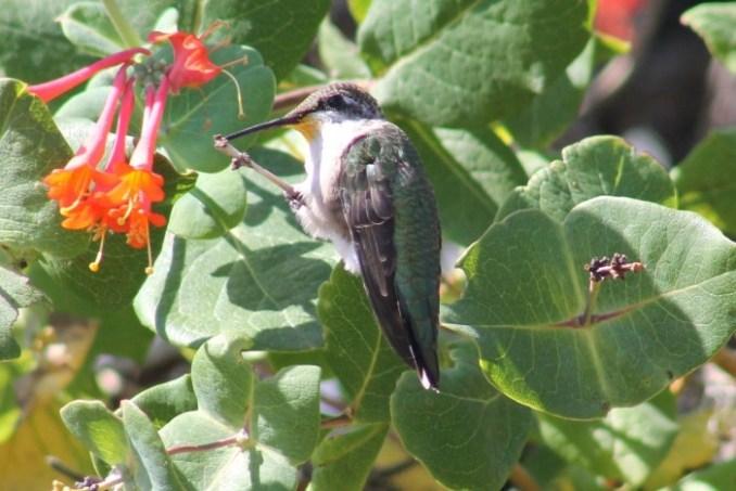 hummingbirds1