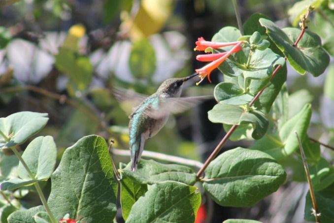 hummingbirds2