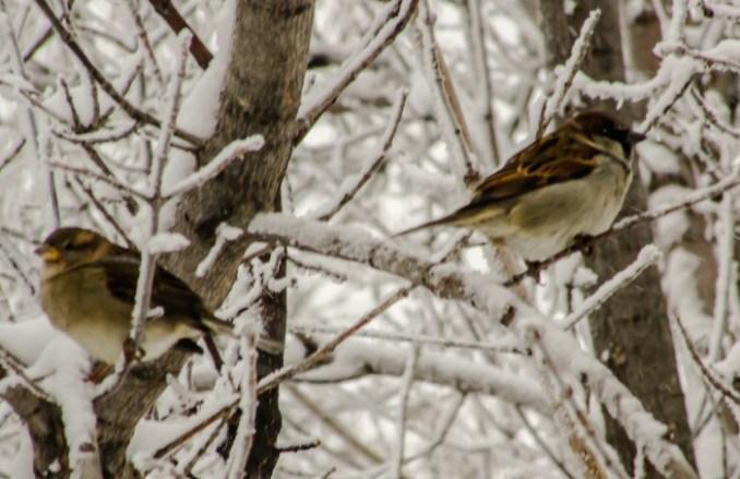 Sparrow Xmas 2015-2