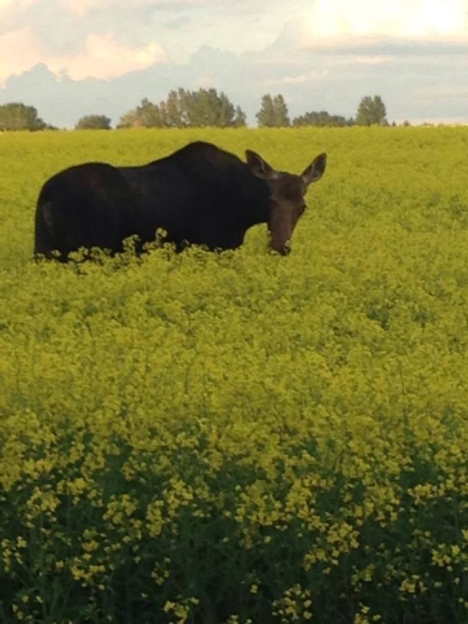 web-moose