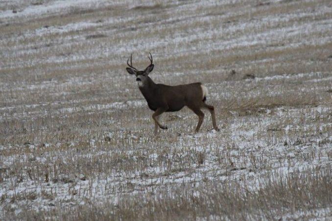 web-deer