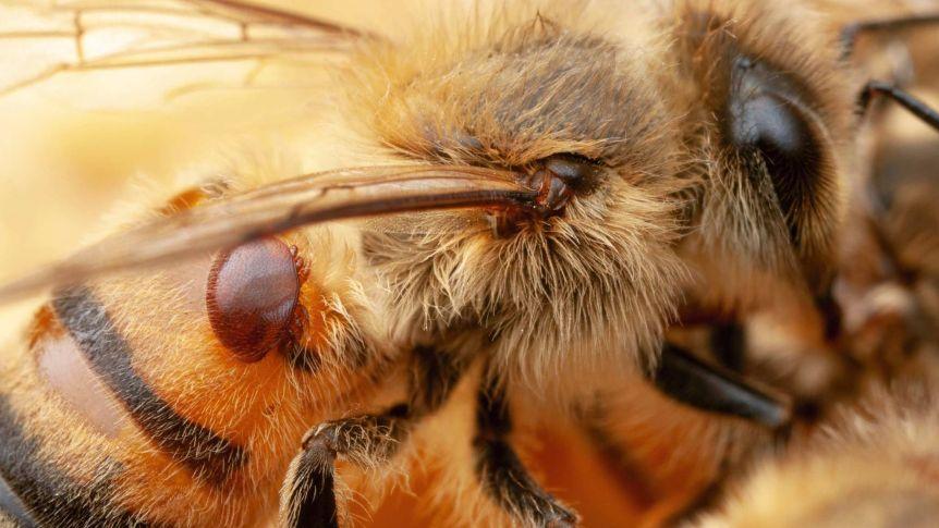 Varroakvalster på ett bi