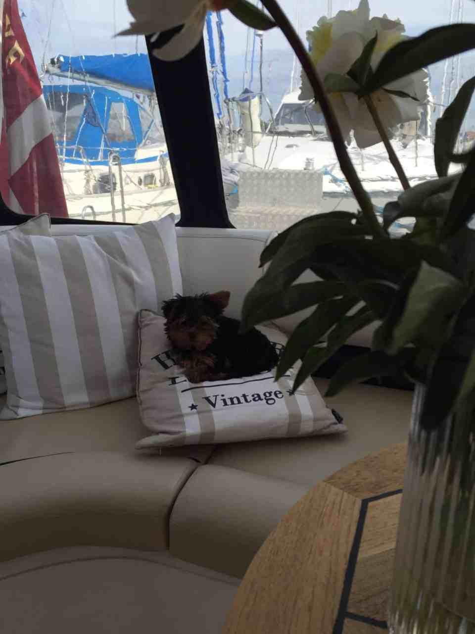 Skibshunden Bobo vokser, men er stadig ikke stor nok...
