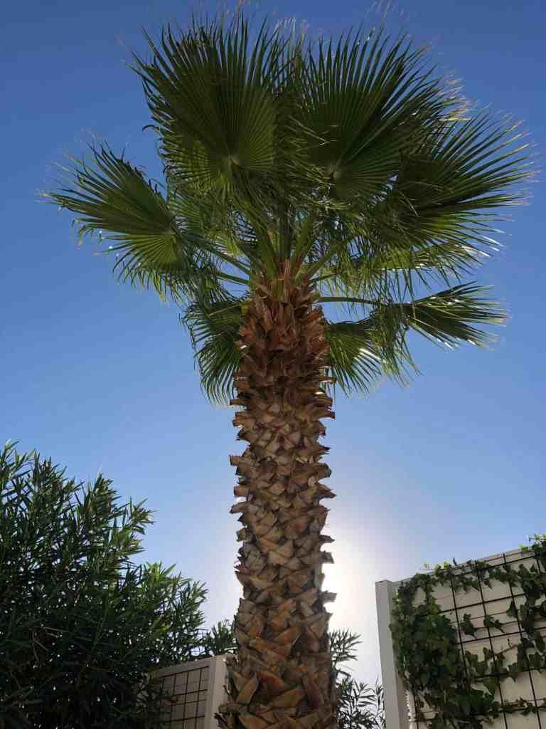 palme i aftensol