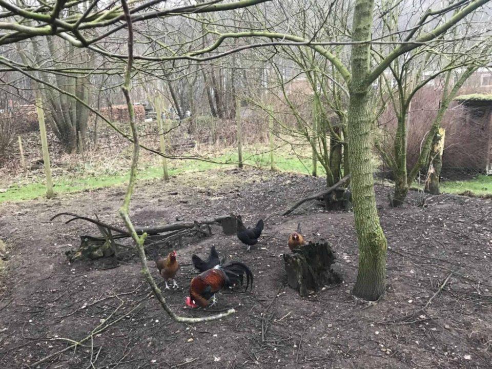 Nye beboere i hønsehuset