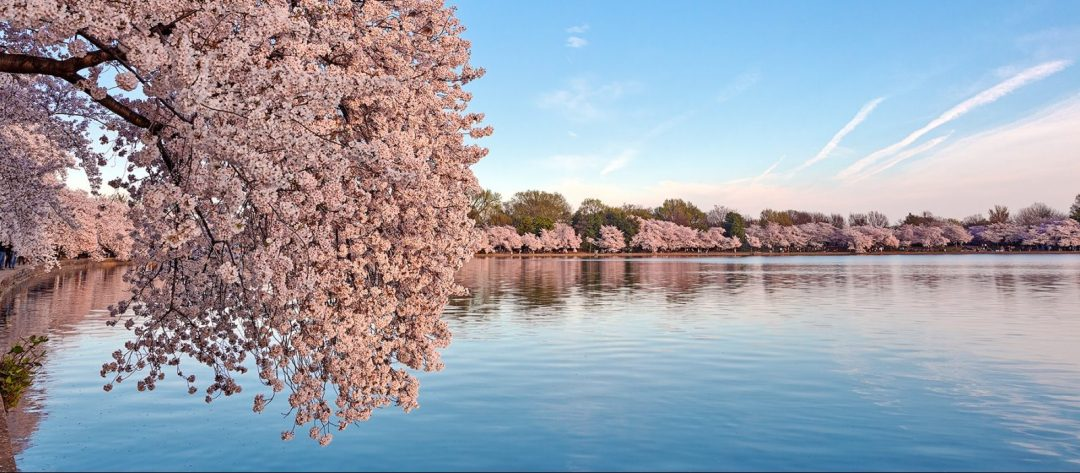 Cherry blossom trees in bloom in Washington DC