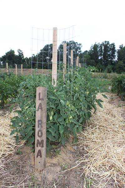 you want to talk about a simple tomato trellis cage creation this is it no bones about it