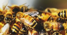 How To Catch A Swarm and Get Honey Bees for Free