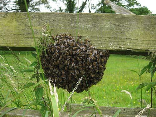 bee-swarm-on-fence