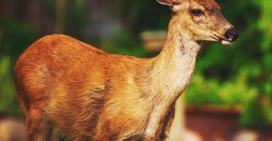 21 Ways to Keep Deer Out of Your Garden and Plants Without Killing Them