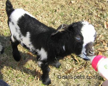 bottle goat