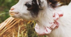 Goat Pregnancy & Birth: All You Need to Know About Goat Kidding