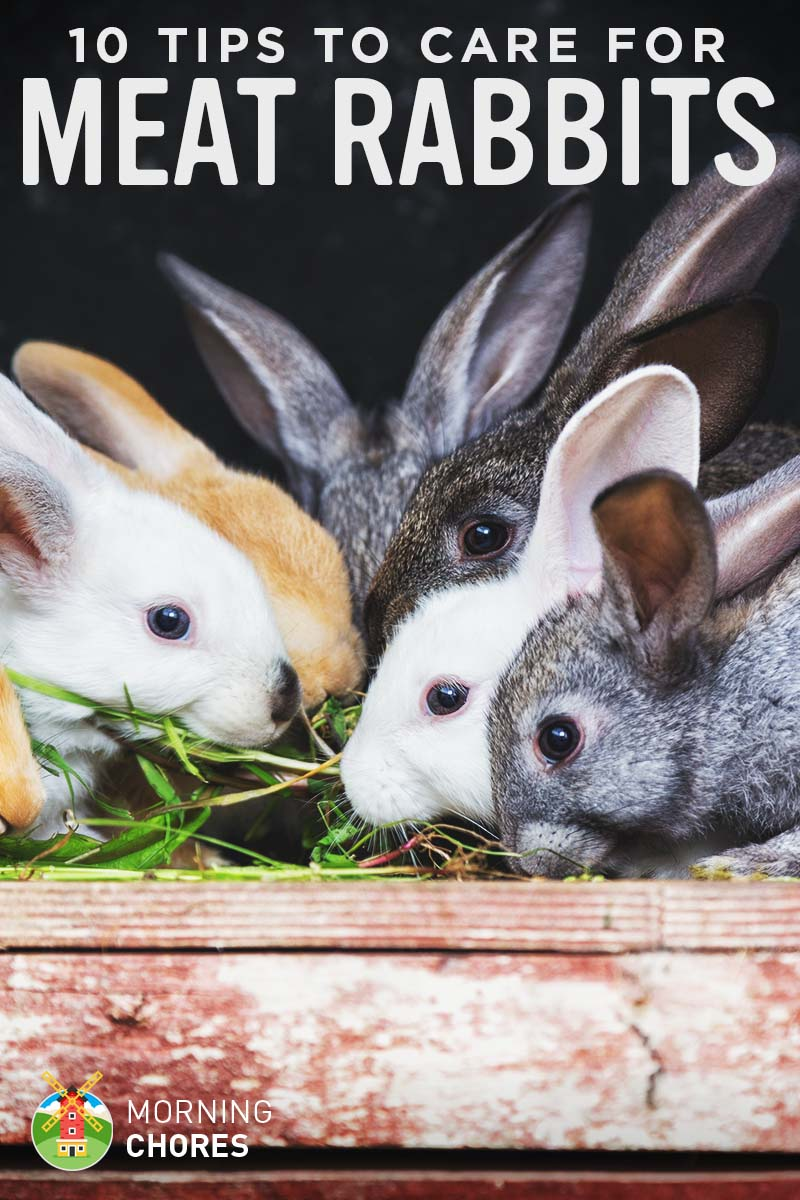 Rabbit Care Guide 10 Tips to Care for Your Backyard Meat