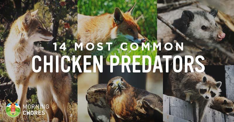 Identifying 14 Common Chicken Predators and How to