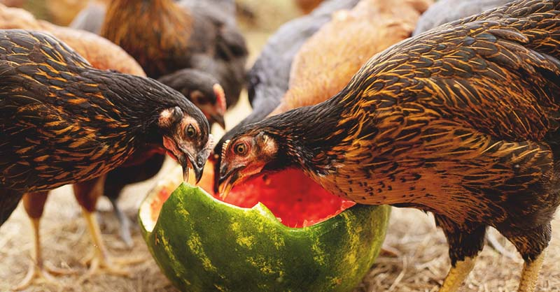 what do chicken eat