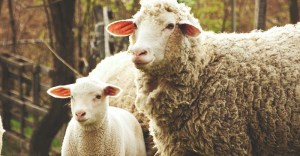 Raising Sheep: A Complete Guide on How to Raise Sheep at Homestead