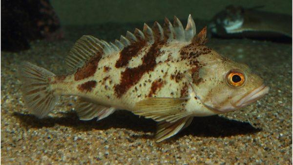 calico-rockfish
