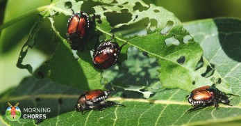 9 Astounding Solutions on How to Get Rid of Japanese Beetles