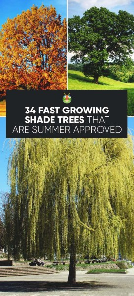 But I'd like to know what shade trees you plant around your yard? Why? Can  you share any growing tips with us?