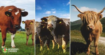 30 Best Cow Breeds for Meat and Milk You'll Want to Know About