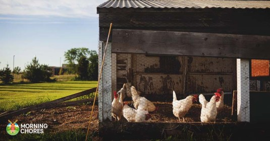 13 Awesome Chicken Bedding Options Your Hens are Going to Love