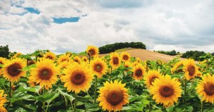 Growing Sunflowers: How to Plant, Grow, and Take Care of Sunflowers