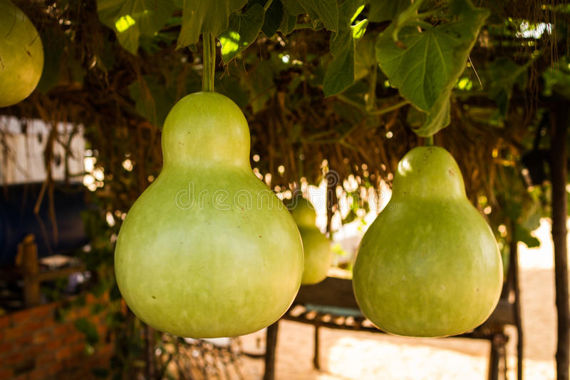 Growing Gourds: How to...
