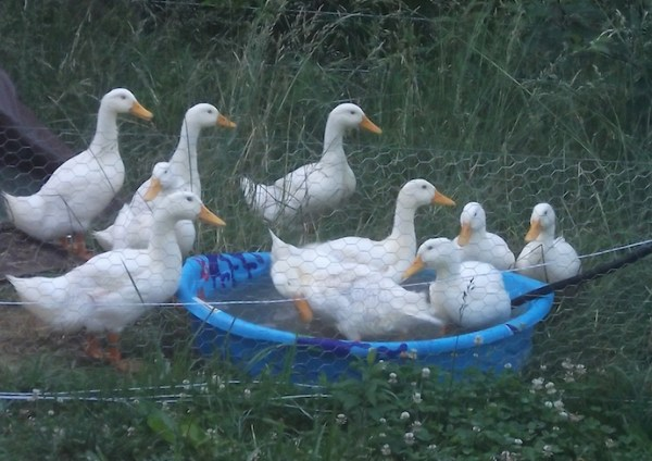 5 ways to use duck poop to enrich your edible landscape soil for Keep ducks out of swimming pool
