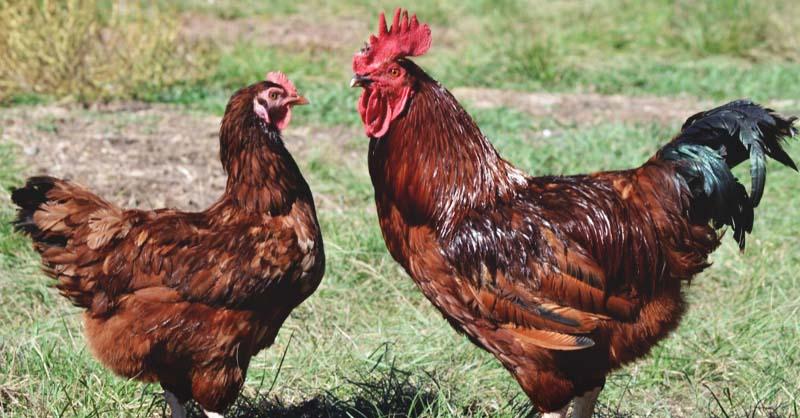 15 Incredible Giant Chicken Breeds Poultry Farmers Should Raise